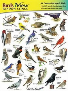 These individually die-cut window clings help you quickly identify 31 different Eastern backyard birds. Easy to apply - simply peel the backing from the decal and place it on  your window, refrigerator or wall;  the decals won't leave a residue and they can easily be adjusted or removed. No need to search for your field guide to identify your backyard birds. Just glance at the decals on your viewing window.