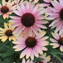 Echinacea for sale,buy Coneflowers,Echinacea Coneflower plant,Purple Coneflower