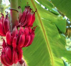 Eğlenceli Gerçekler   Kırmızı muzun tadı çilek ile mangoya benzer