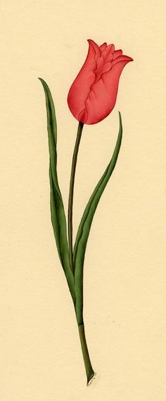 Turkish Tulip