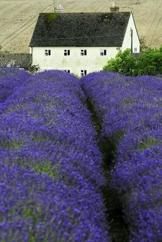 Cotswold , England - would love to see the lavender fields