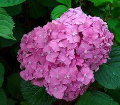 Cómo cambiar el color de las flores de las hortensias