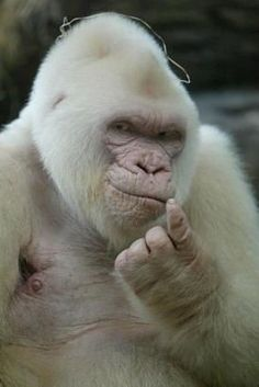 Great White Ape: oh my god, is that not the creepiest thing in the world?