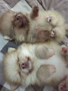 Snoozing Pomeranian cuties