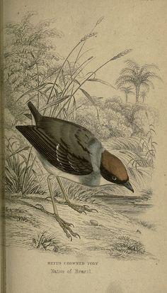 Flycatchers. by W. Swainson...