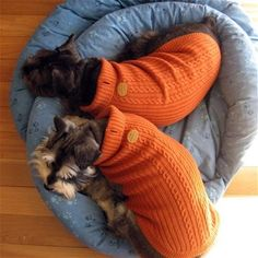 Schnauzers - in orange I went to the trouble of knitting my girls sweaters and they pulled threads all over each other in just minutes of play.