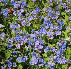 Den herb-aromatischen Ehrenpreis kannst du zum Würzen und gegen viele gesundheitliche Beschwerden wie Rheuma, Neurodermitis oder Schuppenflechte einsetzen - Bild von InAweofGod'sCreation [CC-BY-ND-2.0]