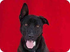 Downey, CA - Belgian Malinois/Pointer Mix. Meet HERMAN, a dog for adoption. http://www.adoptapet.com/pet/13114177-downey-california-belgian-malinois-mix