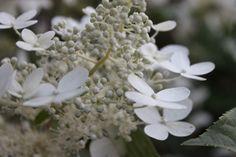 Mustilan hortensia