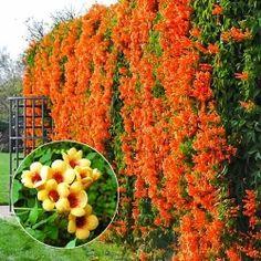 Trompetă cățărătoare Judy Plants, Flowers, Outdoor