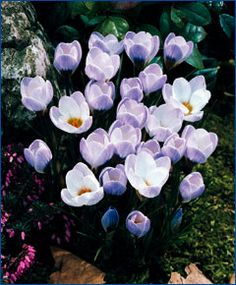 """Crocus chrysanthus Blue Pearl  Pale lobelia-blue with a bronze-yellow throat and base. Bulb size: 5 cm/up. Late March/Early April. 4"""". HZ: 4-8."""