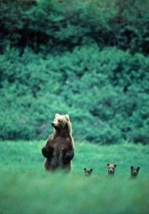 Three little bears, Alaska
