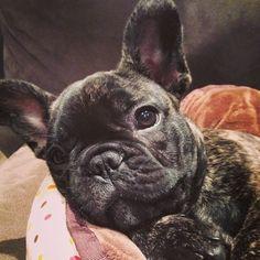Brindle French Bulldog Puppy.
