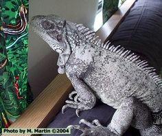Anerythristic green iguana
