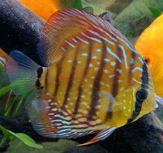 Discus Fish.  I had 5 in a fresh water tank.  Just beautiful but on the fragile side of health.