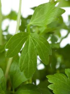 How to grow and harvest Lovage