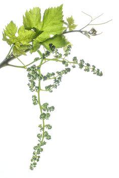 parece mentira- lo he visto de color rojo melancólico en el atardecer otoñal de ceniza invernal, el color de la espera ahora de verde luminoso, en la ternura primaveral cuanta belleza hay en la tersura de sus pámpanos y en sus incipientes zarcillos que aún no sienten el deseo irrefrenable de sustentarse el viñedo más grande del mundo está aquí, en La Mancha y es la primera vez que me acerco a la la uva recién nacida  no tengo perdón     especie: pápanos, zarcillos y uvas recién nacidas Vitis…