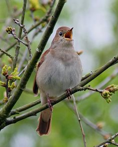 Nightingale in full song - this is what the real bird looks like - do you know its song?