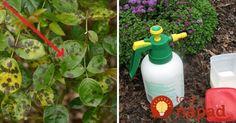 Pre všetkých, ktorí našli na ružiach čierne škvrnky: Rýchlo ich postriekajte touto zmesou a škvrny sa stratia! Spray Bottle, Cleaning Supplies, Pesto, Gardening, Plants, Diy, Ideas, Compost, Lawn And Garden