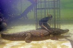 Croc Cage Diving with Cango Wildlife Ranch in Oudtshoorn. Croc cage diving is a activity born from great white shark cage diving. Get up close personal with these magnificent reptiles.