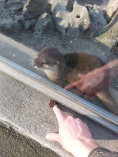 An otter holding somebody's finger. This is the cutest thing I have ever seen.