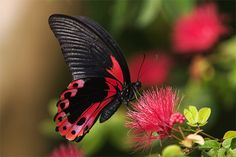 Black red butterfly photography
