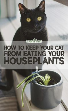 This post is for all the cat & plant parents out there! Pets and plants are two elements which can make your house feel like a home, but sometimes the two don't quite get along. So how do you keep your cat from eating your plants? Keep Cats Away, Catnip Plant, Chesire Cat, Cat Plants, Cat Grass, Types Of Cats, House Plants Decor, Cat Safe House Plants, Bathroom Plants