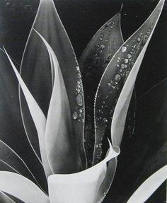 Brett Weston, Brett Weston, Cactus, Photograph