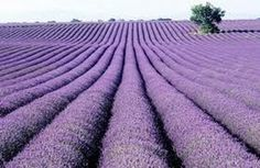 30 Ways To Use Lavender Essential Oil.  Lavender essential oil is known to promote tissue regeneration and speed wound healing.