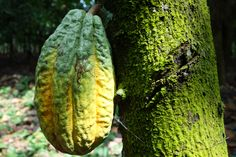 Cacao trees were introduced to West Africa in the 1800's, as the hot, humid climate around the equator provides the perfect conditions for cultivation. West Africa now provides over 70% of the world's cocoa supply, with up to 90% grown on small family farms.