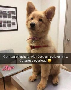 Stunning hand crafted golden retriever accessories and jewelery available at Paws Passion Shop! Represent your golden retriever pup with our merchandise! Cute Little Animals, Cute Funny Animals, Funny Animal Pictures, Funny Dogs, Funny Memes, Sarcastic Memes, Videos Funny, Cute Dogs And Puppies, I Love Dogs