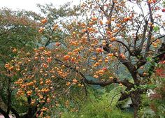 Japanese Persimmon is large deciduous tree from the family of Diospyros. It is a large genus of evergreen trees from tropical climates of Asia, some parts of Africa and major parts of Japan and China. Other species from the genus of Diospyros are useful for their timber and collectively known as ebony.  The sweet and slightly tangy fruit of Persimmon is quite attractive itself and makes this tree very ornamental. Creamy yellow flowers of Persimmon are inconspicuous.