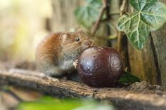 Bank vole, by Sarah Darnell Runner-up, Mammal Society Photographer of the Year 2016