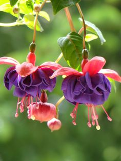 Fuchsias are great for attracting hummingbirds.