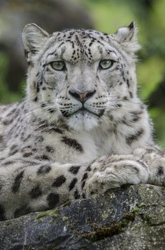 Snow Leopards are endangered. there is a total of 6,590 left in the world. please help save them.