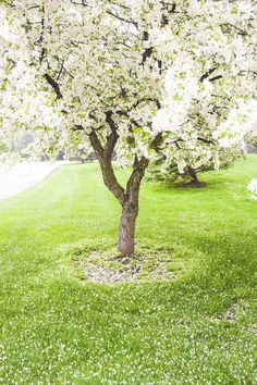 https://flic.kr/p/sCWopa   Spring Flowering   Beautiful white flower tree. I don't know the name of these flowers. #spring #tree #flowers #michigan