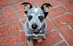 Blue Heelers are the cutest puppies! Mine looked a lot like this when a pup, but chubbier, like a pot-bellied pig!