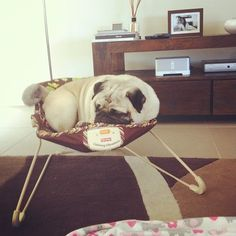 pug in a bouncy seat