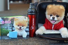Yes, you are seeing double. Boo strikes a pose with his best-selling book and a pet-friendly water bottle from his favorite airline. See the full album at http://vgn.am/BooVX