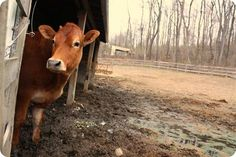 """""""Alternative feeds are made from corn and soybeans, both of which also had short harvests this year. High feed costs have caused feedlot managers to lose up to an estimated $200 per head, according to a Kansas State University study."""" - Evening News and Tribune"""