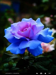 Glowing Blue Rose in bloom Most Beautiful Flowers, Exotic Flowers, My Flower, Pretty Flowers, Flower Power, Beautiful Gorgeous, Flower Text, Unique Flowers, Cactus Flower