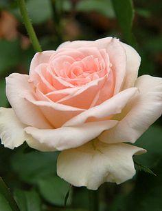 ~Floribunda Rose: Rosa 'Johann Strauss' (France, 1994)