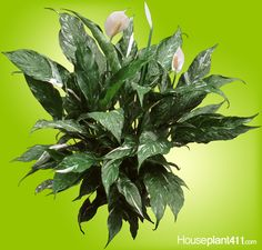 How to Grow a Peace Lily - Spathiphyllum Care Guide Peace Lily Plant Care, Peace Lily Flower, Funeral Gifts, Air Cleaning Plants, Plant Diseases, Poisonous Plants, Unusual Plants, White Leaf, Plant Needs
