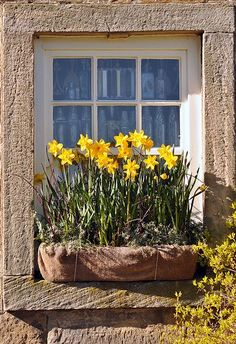 love this idea: window box full of daffodils instead of digging them up every time