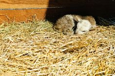 Newly born lamb at Leaping Lamb Farm... so... cute... must... squee... (photo by Dennis Rivera)