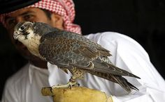 A falconer holds a falcon before the start of the Qatar International Falcon and Hunting Festival in Dakhira.