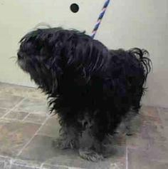 SUPER URGENT - 02/09/15 Manhattan Center  FIFI - A1027514  FEMALE, BLACK / TAN, YORKSHIRE TERR MIX, 13 yrs OWNER SUR - EVALUATE, NO HOLD Reason NO TIME  Intake condition GERIATRIC Intake Date 02/08/2015 https://www.facebook.com/Urgentdeathrowdogs/photos/pb.152876678058553.-2207520000.1423521649./958934927452720/?type=3&theater