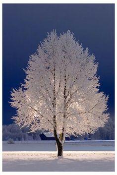Snow Tree, Stockholm, Sweden Just beautiful ! Winter Szenen, Winter Magic, Winter White, Winter Trees, Winter Night, Snow White, Winter Coats, All Nature, Amazing Nature