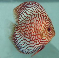 rd Turquoise) http://www.clcdiscus.com/discus-fish-pictures/checkerboard-turquoise/