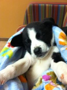 Polly is an adoptable Border Collie, Shepherd Dog in Willingboro, NJ Polly is an 8 week old little girl who is a total lovebug.  She has a wonderful personalit ... ...Read more about me on @petfinder.com